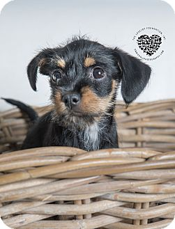Terrier (Unknown Type, Small) Mix Puppy for adoption in Inglewood, California - Heidi