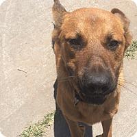 Adopt A Pet :: Brownie - Houston, TX
