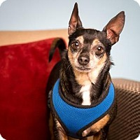 Adopt A Pet :: Bentley - Santa Paula, CA