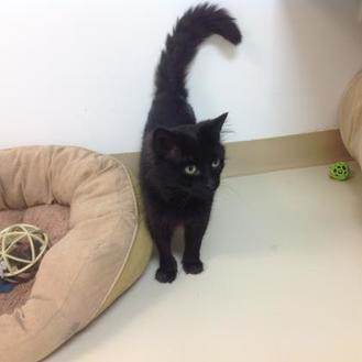 Domestic Mediumhair/Domestic Shorthair Mix Cat for adoption in Crossfield, Alberta - Kevin