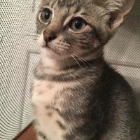 Adopt A Pet :: Kerlix - McKinney, TX