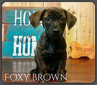Dachshund Mix Puppy for adoption in DeForest, Wisconsin - Foxy Brown