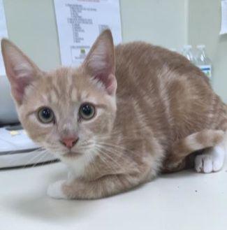 Domestic Shorthair/Domestic Shorthair Mix Cat for adoption in Lynchburg, Virginia - Tamworth