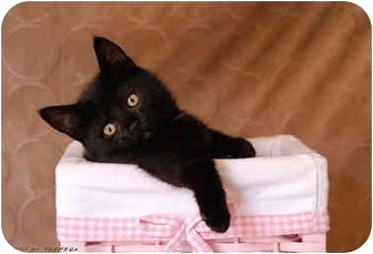 Domestic Mediumhair Kitten for adoption in Taylor Mill, Kentucky - Magic