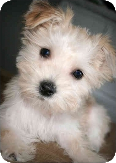 maltese yorkie mix rescue coconut adopted puppy buckeye lake oh maltese 736