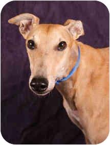Greyhound Dog for adoption in West Palm Beach, Florida - Hanna