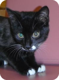 Domestic Shorthair Kitten for adoption in Jackson, Michigan - Frank