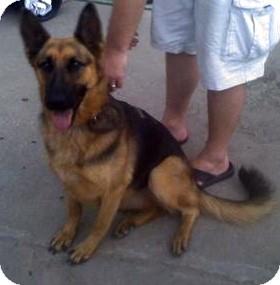 German Shepherd Dog Dog for adoption in Council Bluffs, Iowa - Xena