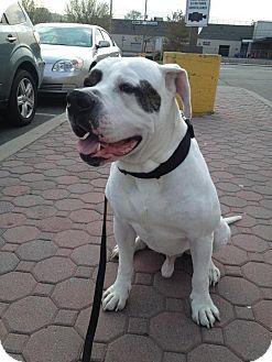 American Bulldog Mix Dog for adoption in New York, New York - Bruce