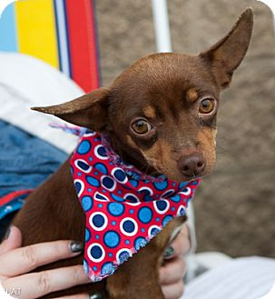 Chihuahua Mix Dog for adoption in Loudonville, New York - CoCo