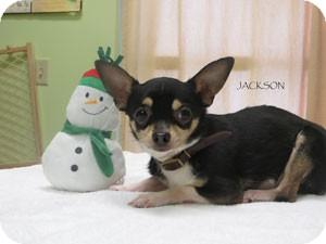 Chihuahua Dog for adoption in Warren, Pennsylvania - Jackson