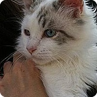 Adopt A Pet :: Smitten s - Santa Monica, CA
