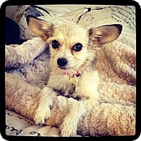 Adopt A Pet :: Muffin - Los Angeles, CA
