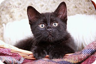 Domestic Shorthair Kitten for adoption in Sterling Heights, Michigan - Bear-ADOPTED