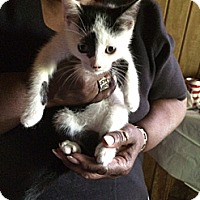 Domestic Shorthair Kitten for adoption in Cranford/Rartian, New Jersey - Grace