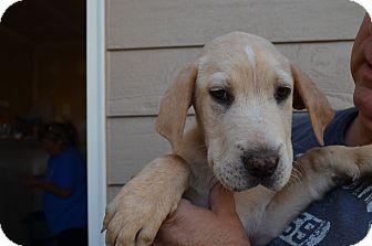 Labrador Retriever Mix Puppy for adoption in Westminster, Colorado - Sergan