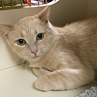 Domestic Shorthair Cat for adoption in Los Angeles, California - Maya