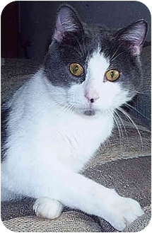 Domestic Shorthair Cat for adoption in Owatonna, Minnesota - Zeus