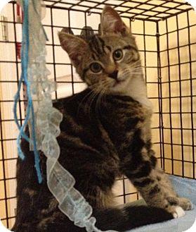 Domestic Shorthair Kitten for adoption in Mount Pleasant, South Carolina - Bertie