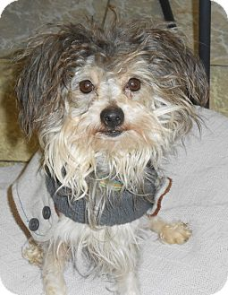 Yorkie, Yorkshire Terrier/Shih Tzu Mix Dog for adoption in Napoleon, Ohio - BAY