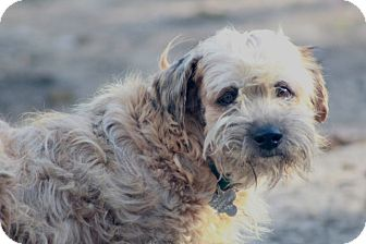 Norfolk Terrier Mix Dog for adoption in Norwalk, Connecticut - Buttercup