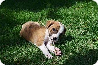 Boxer/Labrador Retriever Mix Puppy for adoption in Harrisburg, Pennsylvania - PADRIC