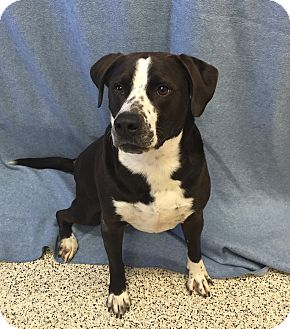 American Pit Bull Terrier/Border Collie Mix Dog for adoption in Chino Valley, Arizona - Bud