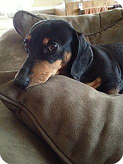Dachshund Dog for adoption in Forest Ranch, California - Tiffany
