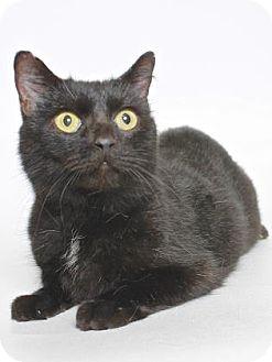 Domestic Shorthair Cat for adoption in Gloucester, Virginia - HUNTLEY