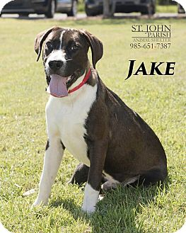 Boxer/Labrador Retriever Mix Dog for adoption in Laplace, Louisiana - Jake