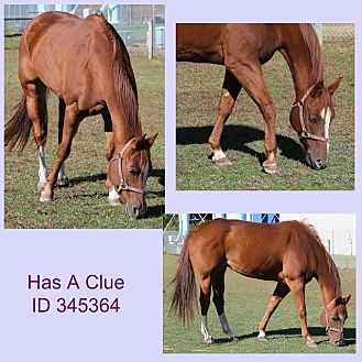 Quarterhorse for adoption in Camden, Delaware - Has A Clue (rita)