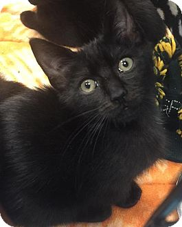 Polydactyl/Hemingway Kitten for adoption in Gainesville, Florida - Salem