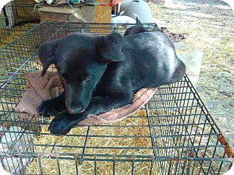 Labrador Retriever Mix Puppy for adoption in East Hartford, Connecticut - Jasper-pending adoption