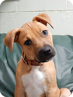 American Staffordshire Terrier Mix Puppy for adoption in Long Beach, New York - Sydney