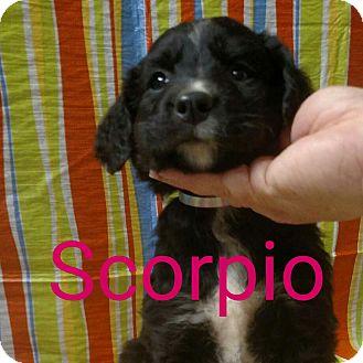 Labradoodle/Bernese Mountain Dog Mix Puppy for adoption in Garden City, Michigan - Scorpio