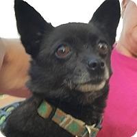 Adopt A Pet :: Cleo - Beavercreek, OH