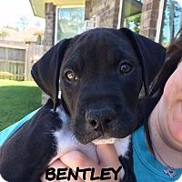 Adopt A Pet :: Bentley - Spring, TX