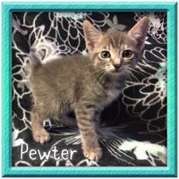 Adopt A Pet :: Pewter - Bradenton, FL