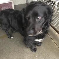 Adopt A Pet :: Chester - Clarkesville, GA