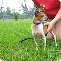 Chihuahua Mix Dog for adoption in Port Clinton, Ohio - Lucy