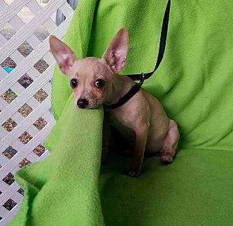 Chihuahua Mix Puppy for adoption in San Antonio, Texas - Asama