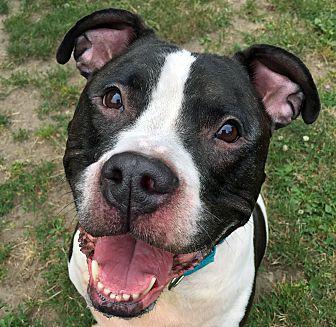 Pit Bull Terrier Dog for adoption in Boston, Massachusetts - RIO
