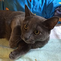 Adopt A Pet :: Blueberry - Middletown, NY