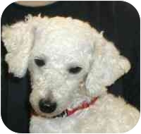 Poodle (Miniature) Dog for adoption in Warren, New Jersey - Wooly