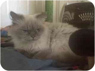 Himalayan Cat for adoption in Greenville, South Carolina - Kitty