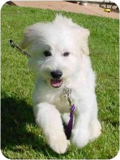 Bichon Frise Puppy for adoption in La Costa, California - Skipper