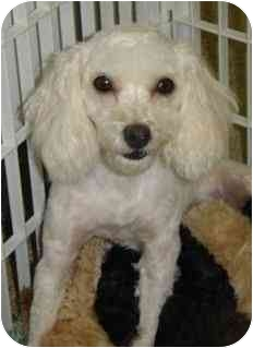 Poodle (Miniature) Mix Dog for adoption in Melbourne, Florida - SCRAPPY