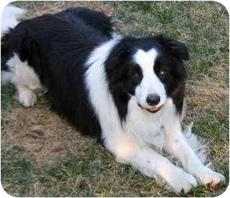 Newfoundland Dog Rescue Colorado