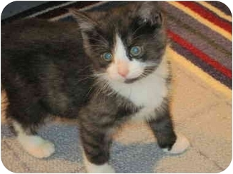 Domestic Shorthair Kitten for adoption in Warren, Ohio - Pickle