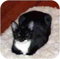 Domestic Shorthair Kitten for adoption in Tampa, Florida - Mooch